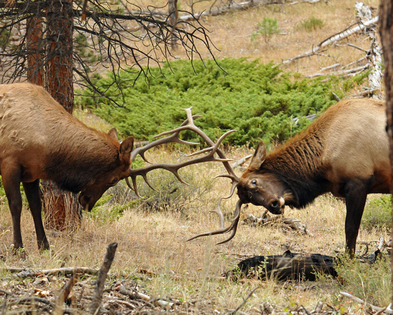 Battling bull elk in forest
