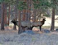 bull elk bookends in forest