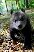 grizzly cub 005