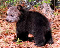 grizzly cub 009