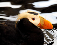 Tufted Puffin 002