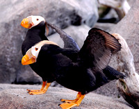Tufted Puffin Bowing