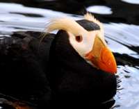 Tufted Puffin Smirking