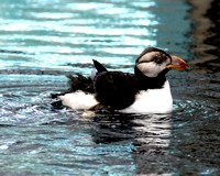 Horned Puffin 001