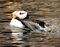 Horned Puffin 002