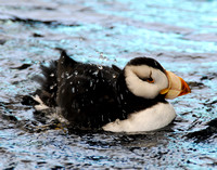 Horned Puffin 004