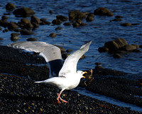 Glaucous Winged Gull with Crab 003