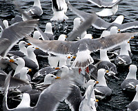 glaucous winged gull 004