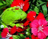 squirrel tree frog
