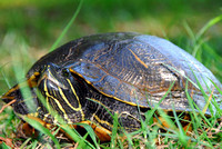 common cooter turtle